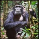 Chimp man in Kibale Forest