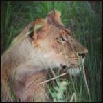 Leeuwin in Murchison Falls NP