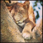Tree sleeping lions