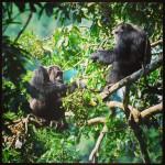 Chimps in Kyambura Gorge