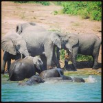 Badderende olifanten in Kazinga channel