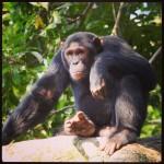 Chimp in Kyambura Gorge