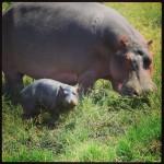 Een nijlpaardenbaby van paar dagen oud!