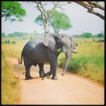 Pas op. Overstekende olifant